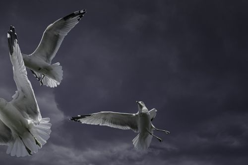ring-billed gull seagull bird