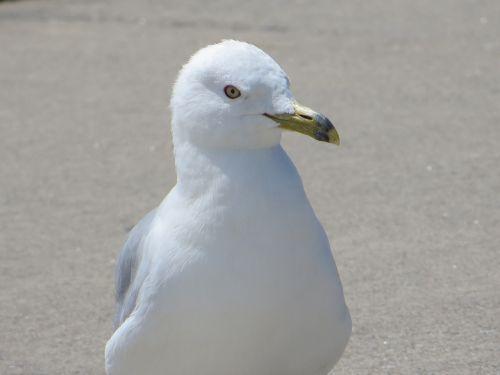 ring-billed sea gull sea gull bird
