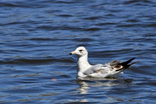 Ring-billed Seagull Swimming