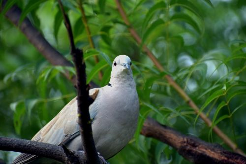 ring-necked dove half-collared dove indian dove