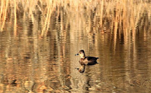 Ring-necked Duck On Golden Pond
