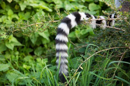 ring tail lemur primate