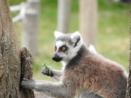 ring tailed lemur animal madagascar