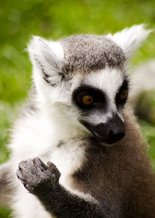 ring tailed lemur madagascar wildlife