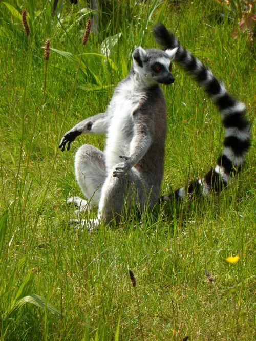 Ring tailled lemuras,prosimiečiai,lemurs,saulės garbintojai,sėdėti,pastebėtas uodegas,dryžuotas,pieva