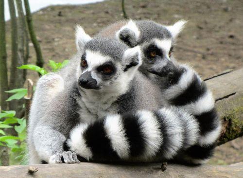 ring-tailed lemur monkey monkeys