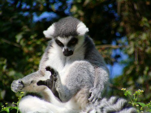 Ring tailled lemuras,beždžionė,lermuren,lemuriformos,primatai,saulės garbintojai,juodos kojos