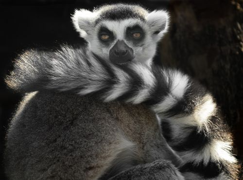 ring tailed lemur black and white cute