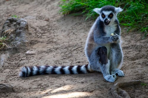 ring tailed lemur  black and white lemur  madagascar