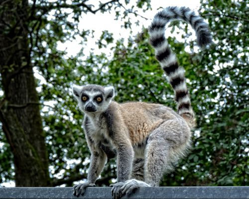 ring tailed lemur lemur catta lemur