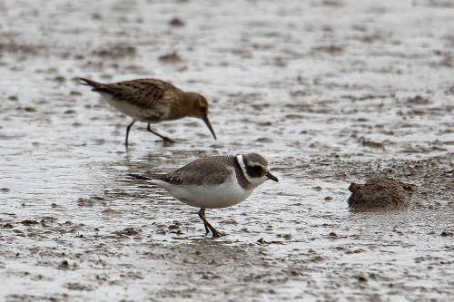 ringed-plover seabird mud