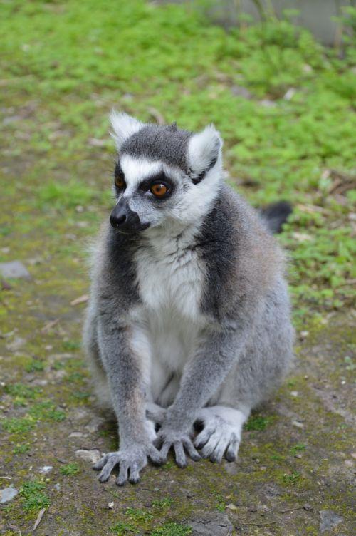 Ring-tailed Lemurs 2