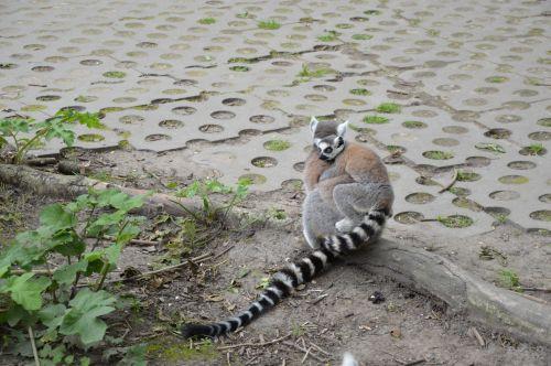 Ring-tailed Lemurs 4