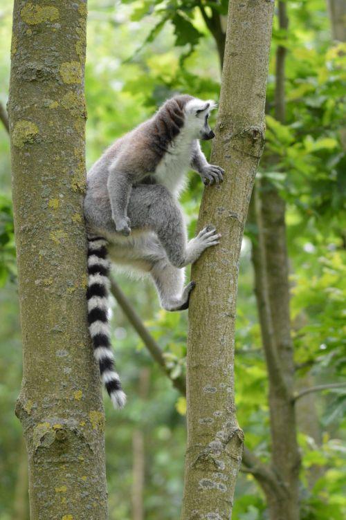 Ring-tailed Lemurs 5