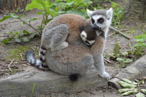 Ring-tailed Lemurs 8