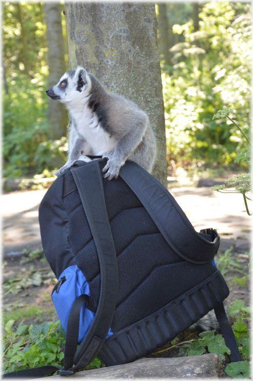 Ring-tailed Lemur 11