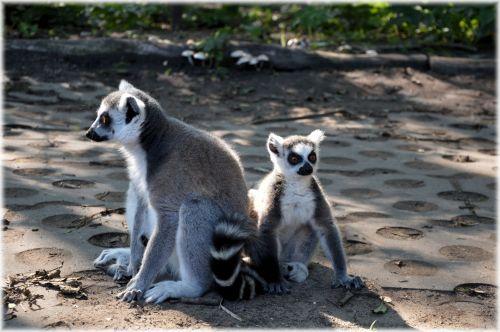 Ring-tailed Lemur 12
