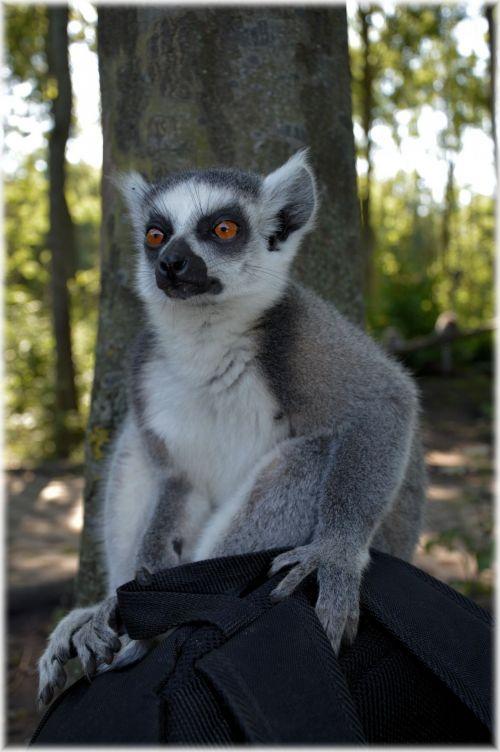 Ring-tailed Lemur 13
