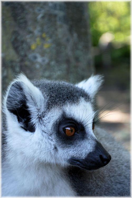 Ring-tailed Lemur 14
