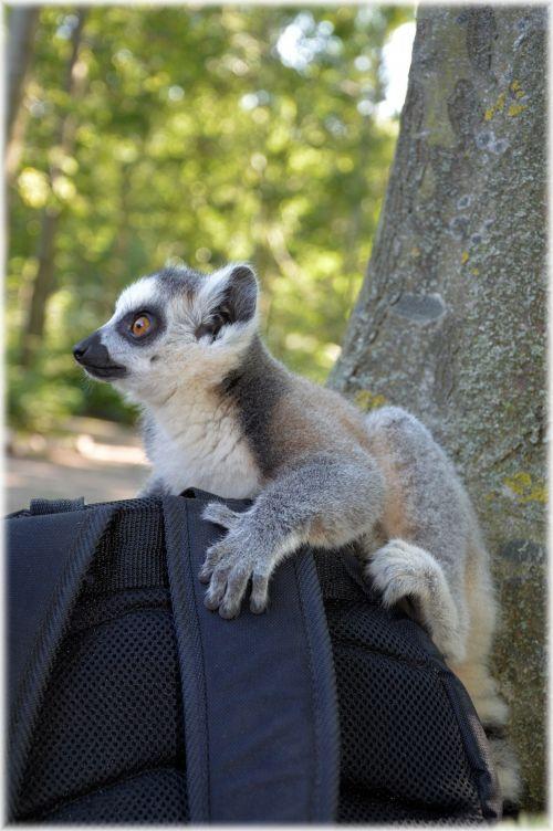 Ring-tailed Lemur 17