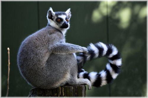 Ring-tailed Lemur 18