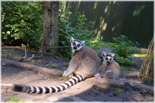 Ring-tailed Lemur 19