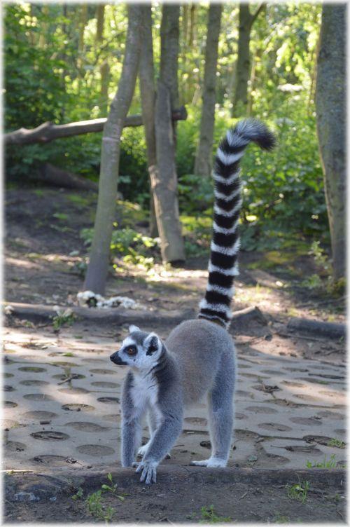 Ring-tailed Lemur 20