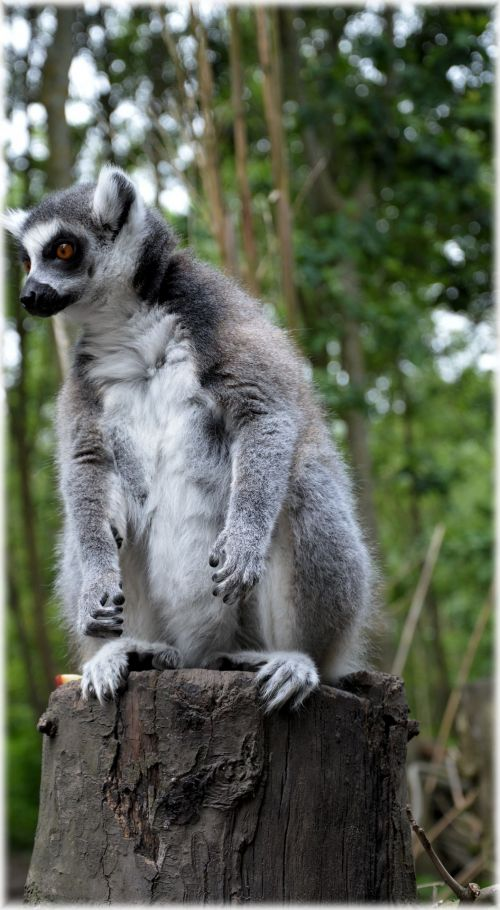 Ring-tailed Lemur 21