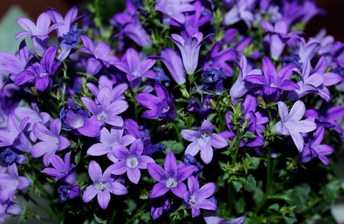 ringtone  campanula  flowers