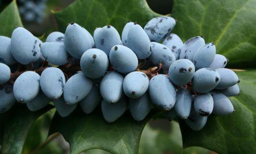 ripe berries purple