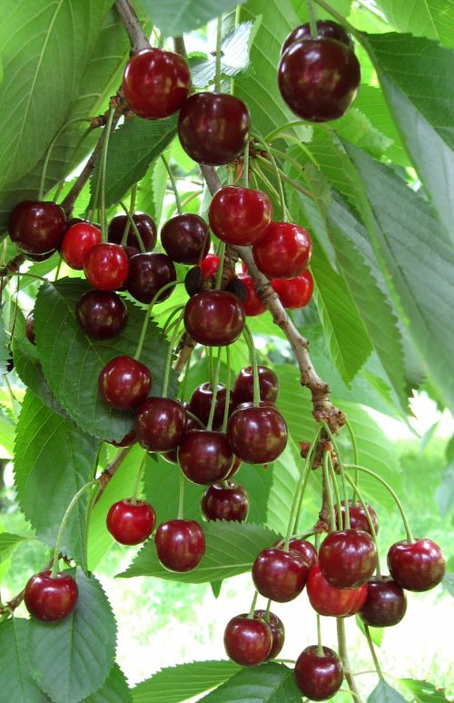Ripe Cherries On Tree