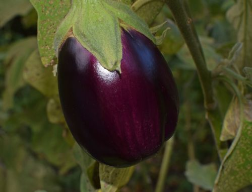 ripe eggplant eggplant vegetable