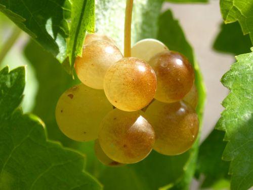 ripe grapes vintage vine