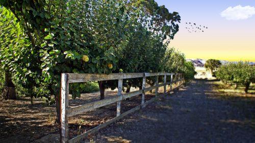 Ripe Quince Fruit
