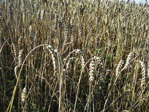 ripe wheat field wheat spike late summer