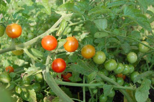 ripening tomatoes vines
