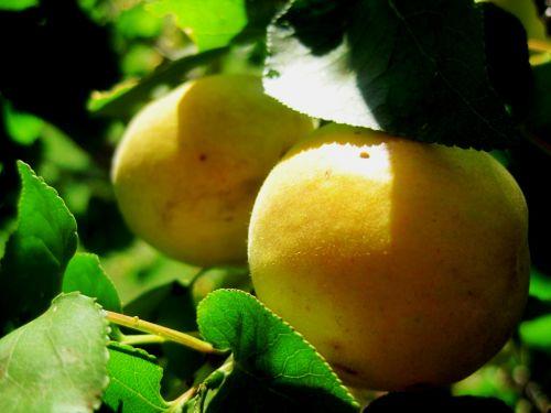 Ripening Apricots