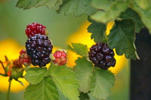 Ripening Bramble Berries On Bramble