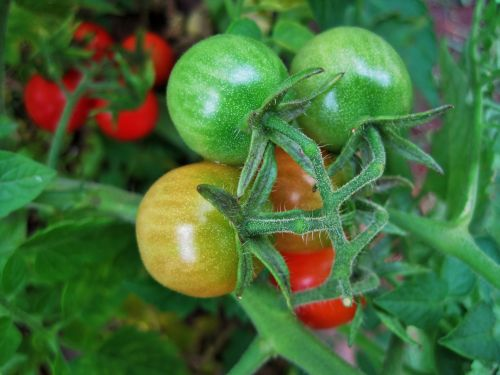Ripening Cocktail Tomatoes