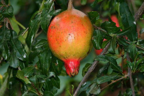 Ripening Pomegranate