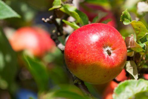 Ripening Red Apple