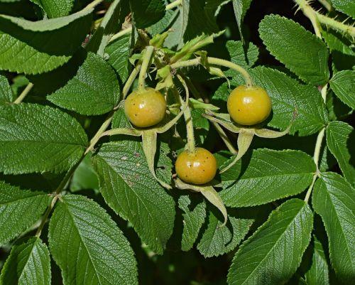 ripening rose hips rose rugosa rose