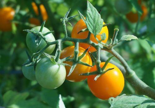 ripening tomatoes tomato tomatoes