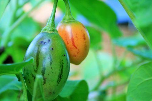 Ripening Tree Tomato