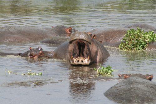river hippos tanzania