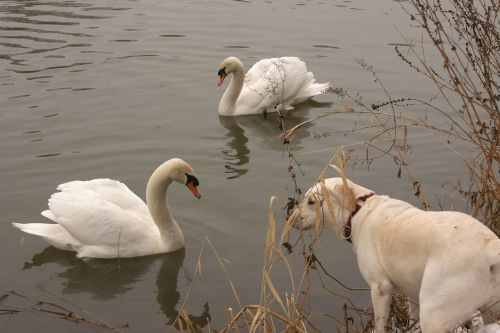 river swan dog