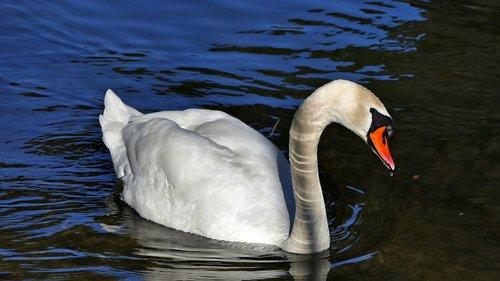 river  water  swan