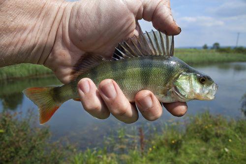 river fish coarse fishing perch