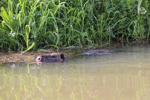 river rat  coypu  animal