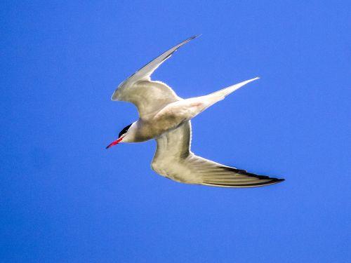river tern schwalbe bird